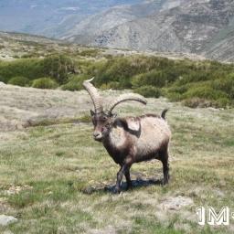 Cabra Montesa