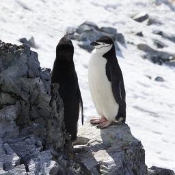 Pingüinos Barbijo