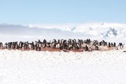 Colonia Pingüinos Papua